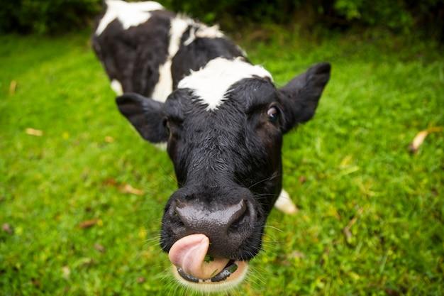 Ritratto del vitello che attacca fuori la sua lingua sul vetro