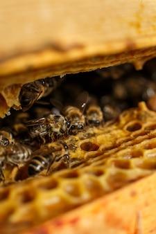 Ritratto dell'ape del primo piano sul favo in alveare. apicoltura