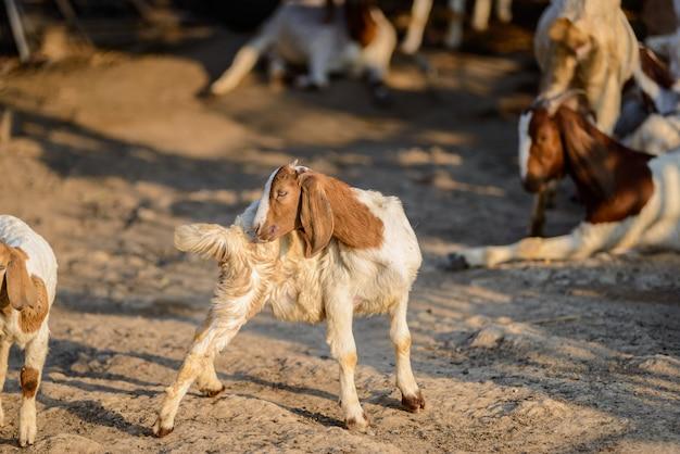 Ritratto della capra del bambino nella stalla
