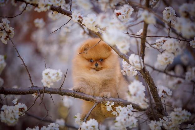 Ritratto della primavera di un cucciolo sveglio di pomeranian su un albero sbocciante.