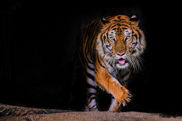 Ritratto della tigre di una tigre di bengala in tailandia sul nero