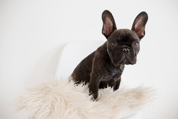 Ritratto di adorabile bulldog francese