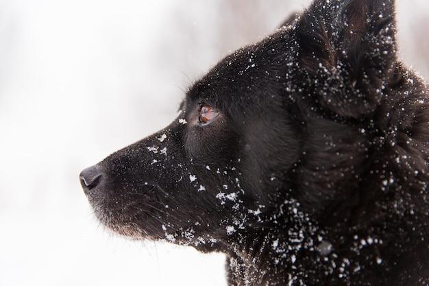 Ritratto di bello cane nero che cammina sul campo nevoso nella foresta di inverno