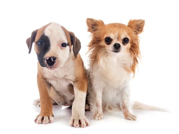 Ritratto di bulldog americano e chihuahua