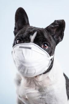 Ritratto di bulldog francese con maschera su sfondo bianco concetto di coronavirus. covid-19