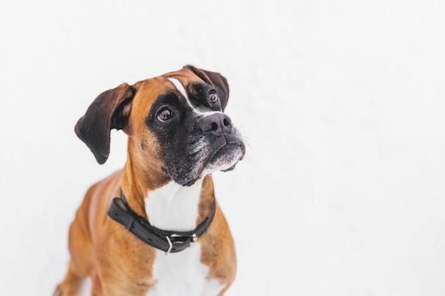 Ritratto di cane con pedigree marrone sulla neve. pugile.