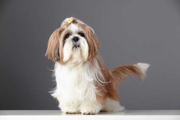 Ritratto di cane di razza shih tzu