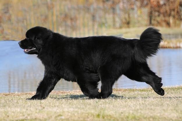 Ritratto di cane di razza terranova