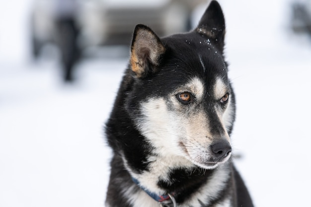 Ritratto di cane husky animale domestico divertente sulla camminata prima dell'addestramento di cani da slitta.
