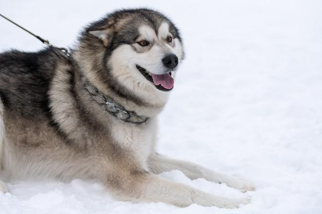Ritratto di cane husky, inverno nevoso. animale domestico divertente sulla camminata prima dell'addestramento di cani da slitta.