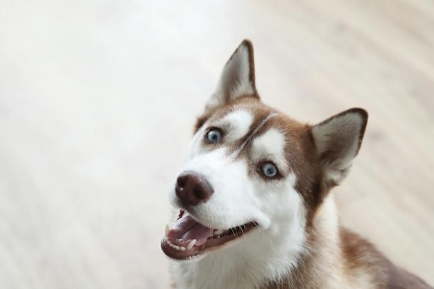 Ritratto di cane husky