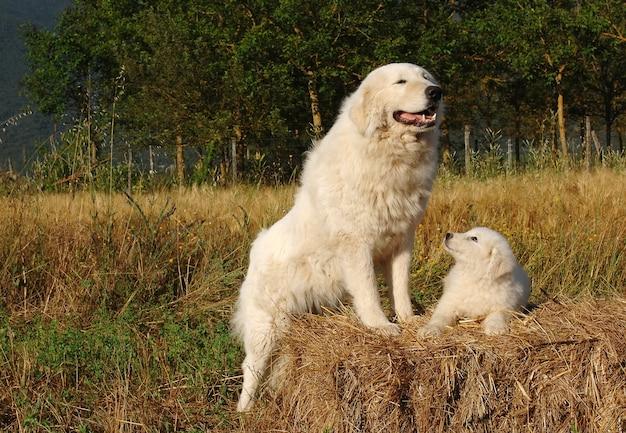 Ritratto di cane pastore maremma con cucciolo