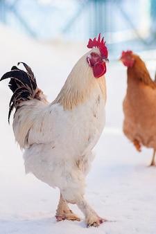 Ritratto di capo gallo principale.cock in inverno, neve