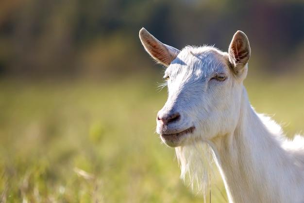 Ritratto di capra bianca con la barba sul bokeh sfocato agricoltura del concetto di animali utili.