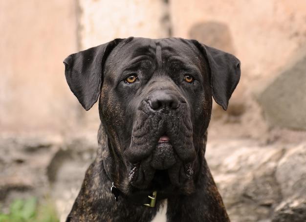 Ritratto di corso dog, razza italiana di cane