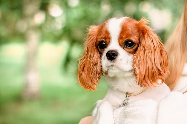 Ritratto di cucciolo carino cavalier king charles spaniel