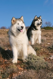 Ritratto di due cani alaskan malamute