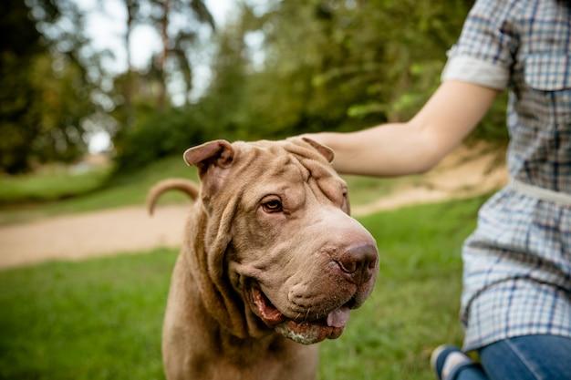 Ritratto di faccia di cane serio. cane di razza shar pei con occhi intelligenti. primo piano doggy fuori. shar-pei sta guardando da parte.