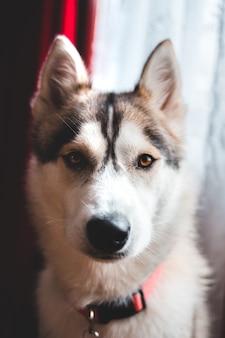 Ritratto di faccia di husky siberiano