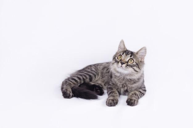 Ritratto di gattino a strisce carino isolato