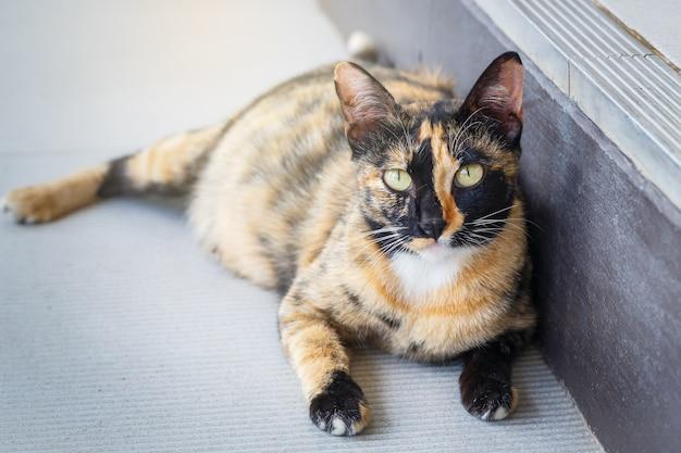 Ritratto di gatto incinta sdraiata