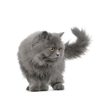 Ritratto di gatto persiano isolato