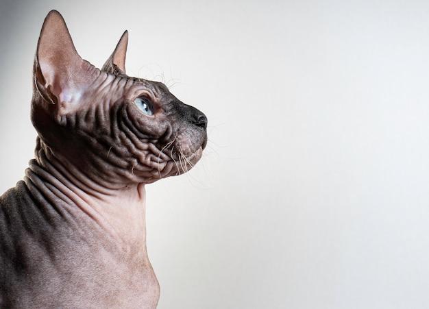 Ritratto di gatto sfinge su una luce