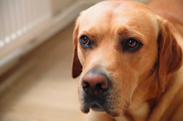 Ritratto di giovane curioso cane disciplinato labrador a casa. avere animali domestici a casa concetto