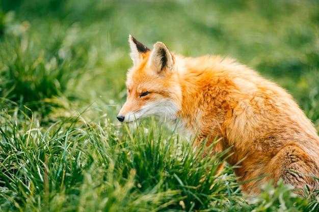 Ritratto di giovane piccola volpe rossa che si siede sull'erba verde alla natura selvaggia all'aperto.