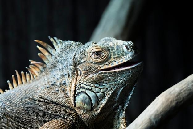 Ritratto di iguana in uno zoo