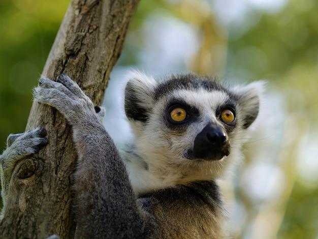 Ritratto di lemure dalla coda ad anelli. animale allo zoo