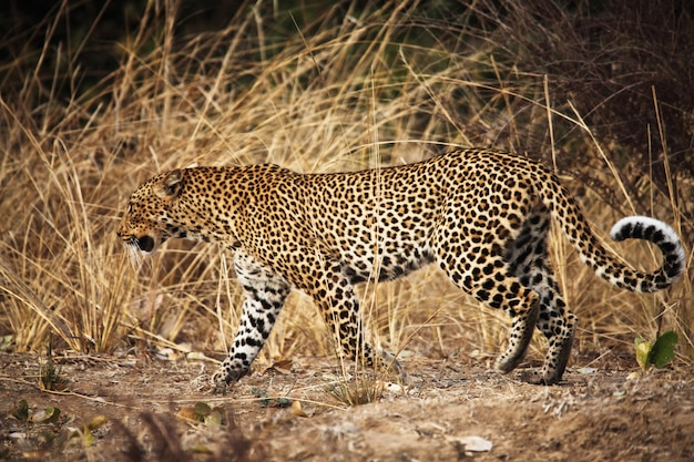 Ritratto di leopardo a piedi in savana