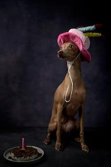 Ritratto di piccolo cane levriero italiano con cappello buon compleanno
