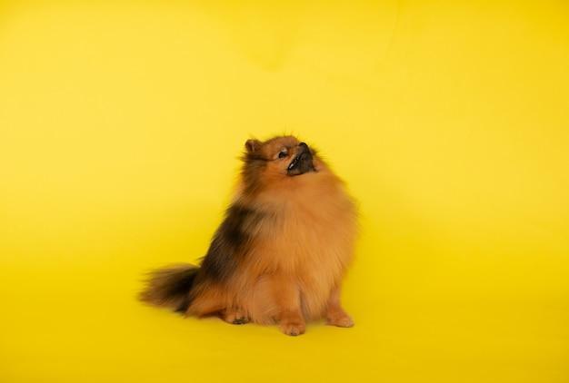 Ritratto di piccolo cucciolo di spitz dai capelli rossi carino in posa su uno sfondo giallo con spazio di copia