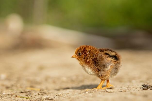 Ritratto di piccolo pollo giallo lanuginoso di pasqua che cammina nell'iarda del villaggio un giorno di molla soleggiato