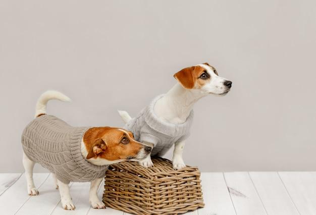 Ritratto di simpatici cani in camicette a maglia, foto in studio del cucciolo di jack russell e sua madre. amicizia, amore, famiglia.