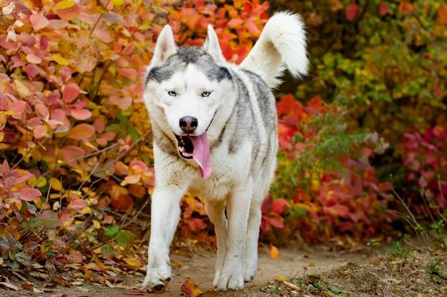 Ritratto di simpatico e felice cane razza siberian husky con tonque uscire in esecuzione nella foresta di autunno giallo brillante.