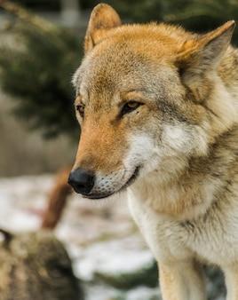 Ritratto di testa di lupo grigio (canis lupus), guardando a sinistra