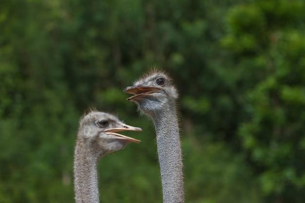 Ritratto di testa di uccello di struzzo