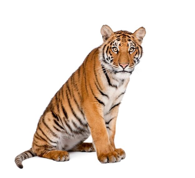 Ritratto di tigre del bengala, panthera tigris tigris, seduto
