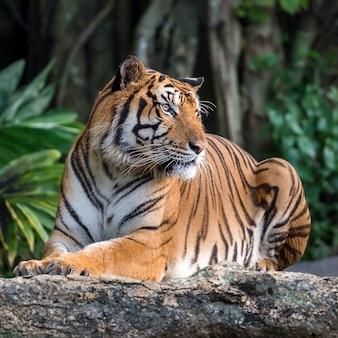Ritratto di tigre