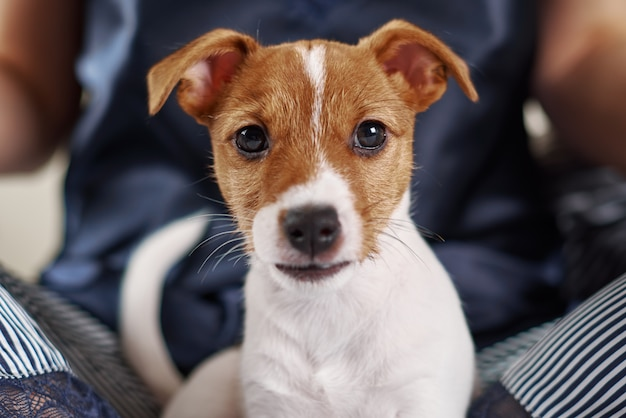Ritratto di un adorabile cucciolo di jack russell