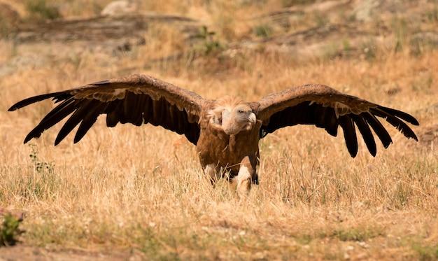 Ritratto di un avvoltoio nero nella natura