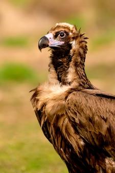 Ritratto di un avvoltoio nero