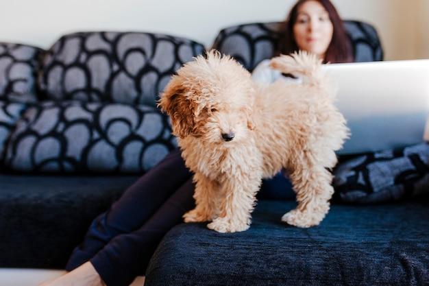 Ritratto di un barboncino giocattolo marrone carino con il suo proprietario di giovane donna a casa. usando il portatile. di giorno, al chiuso.