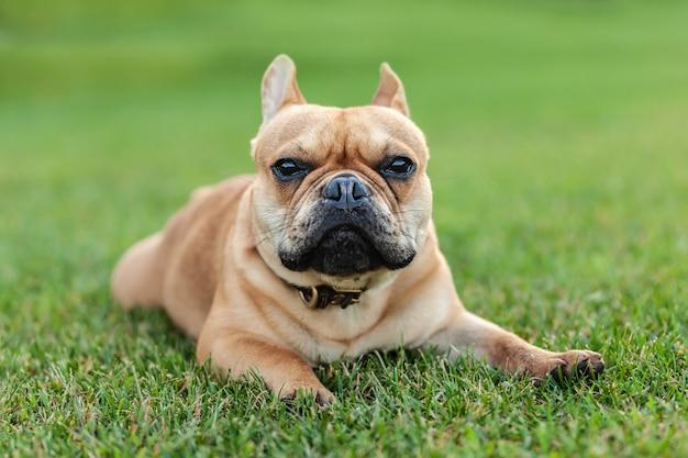 Ritratto di un bulldog francese da vicino