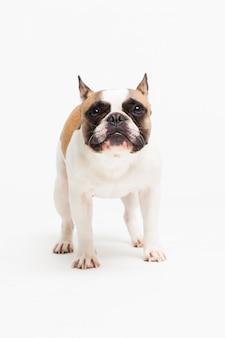 Ritratto di un bulldog francese su bianco. cagnolino allegro con una faccia buffa
