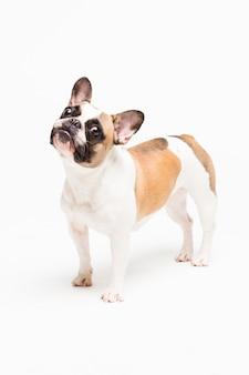 Ritratto di un bulldog francese su un bianco. cagnolino allegro con una faccia buffa