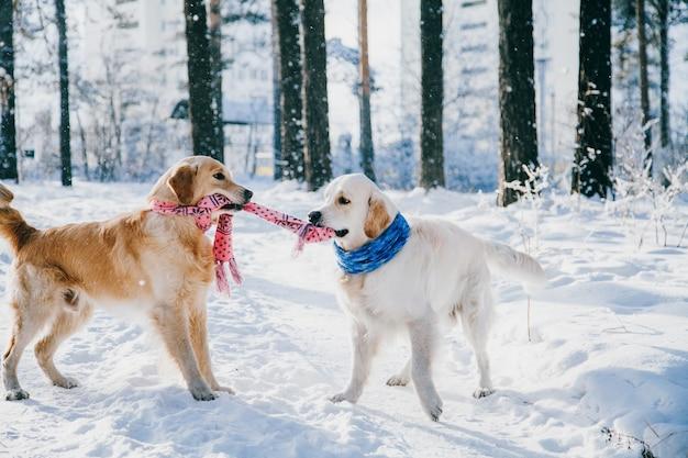 Ritratto di un cane all'aperto in inverno. due giovani golden retriever che giocano nella neve nel parco. giocattoli rimorchiatori