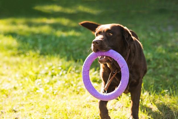 Ritratto di un cane che tiene il giocattolo in bocca